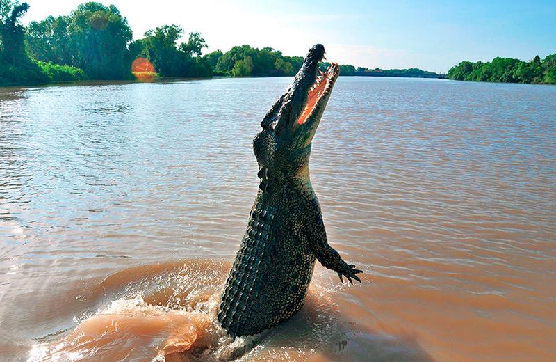 Крокодил поднялся на хвосте за куском мяса