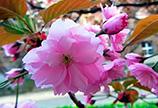 В Изюме весна, а в Закарпатье зацвели сакуры