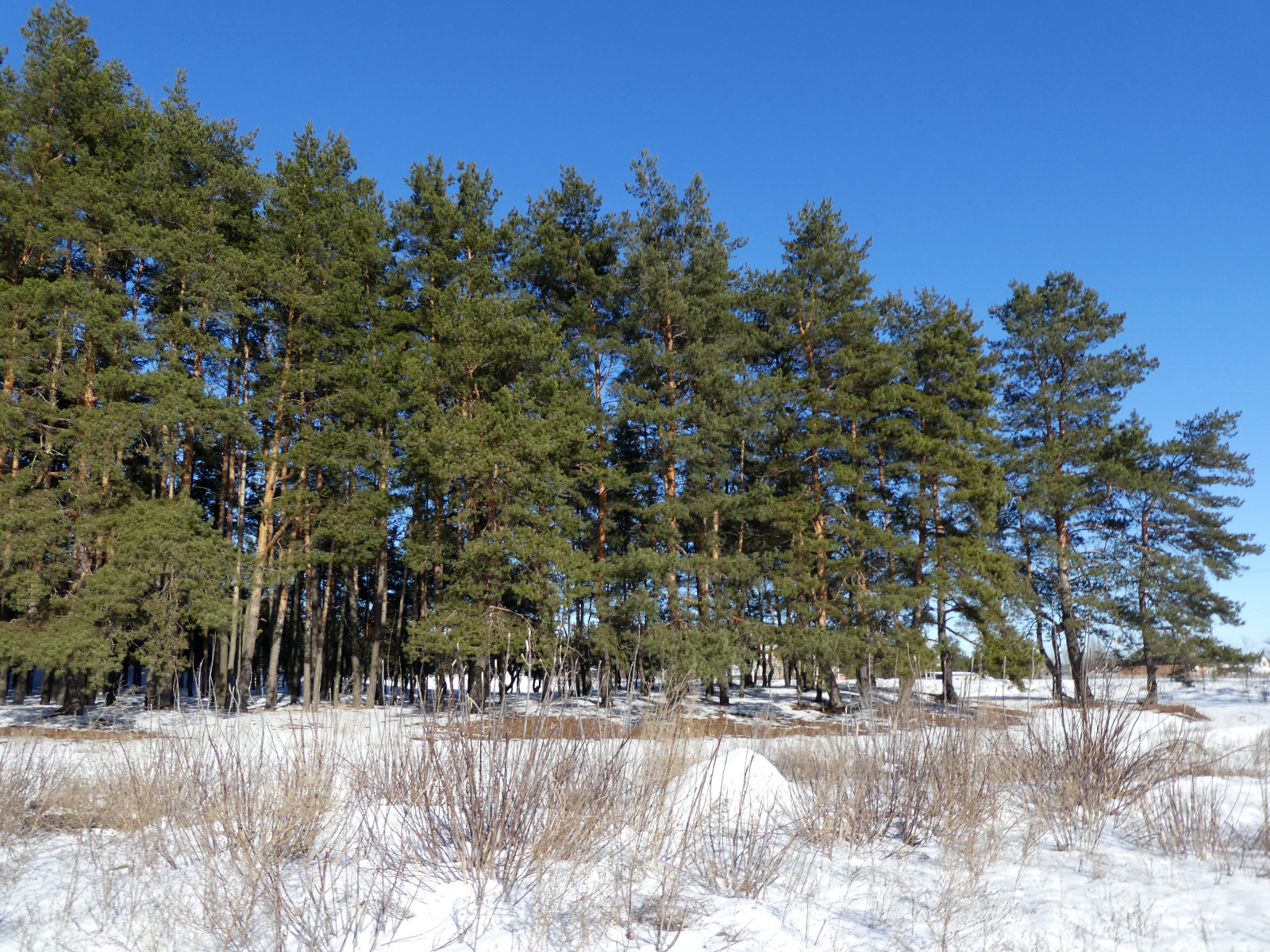 на опушке соснового леса фото начала