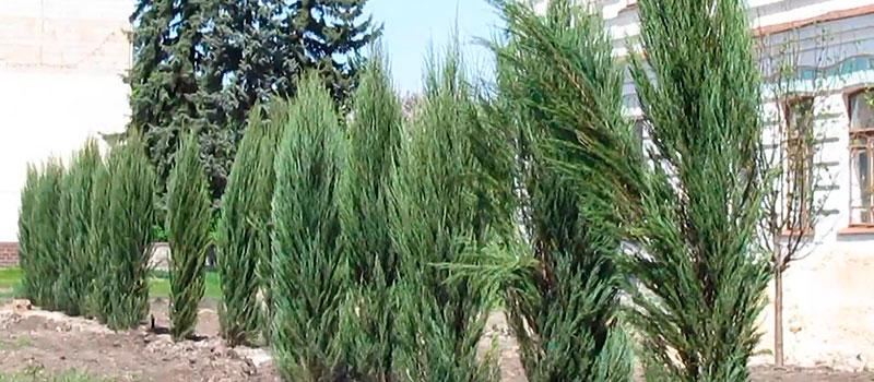 Новые деревья на Центральной площади Изюма