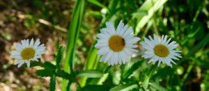 Цветы в Изюме - начало лета 2017