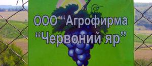 В агрофирме «Красный Яр» поспел виноград