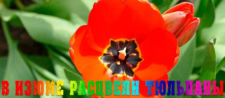 В Изюме расцвели тюльпаны [видео]